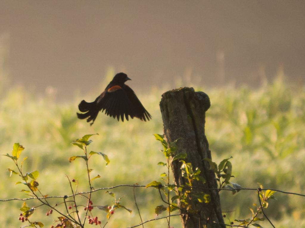 Blackbird landing on a post